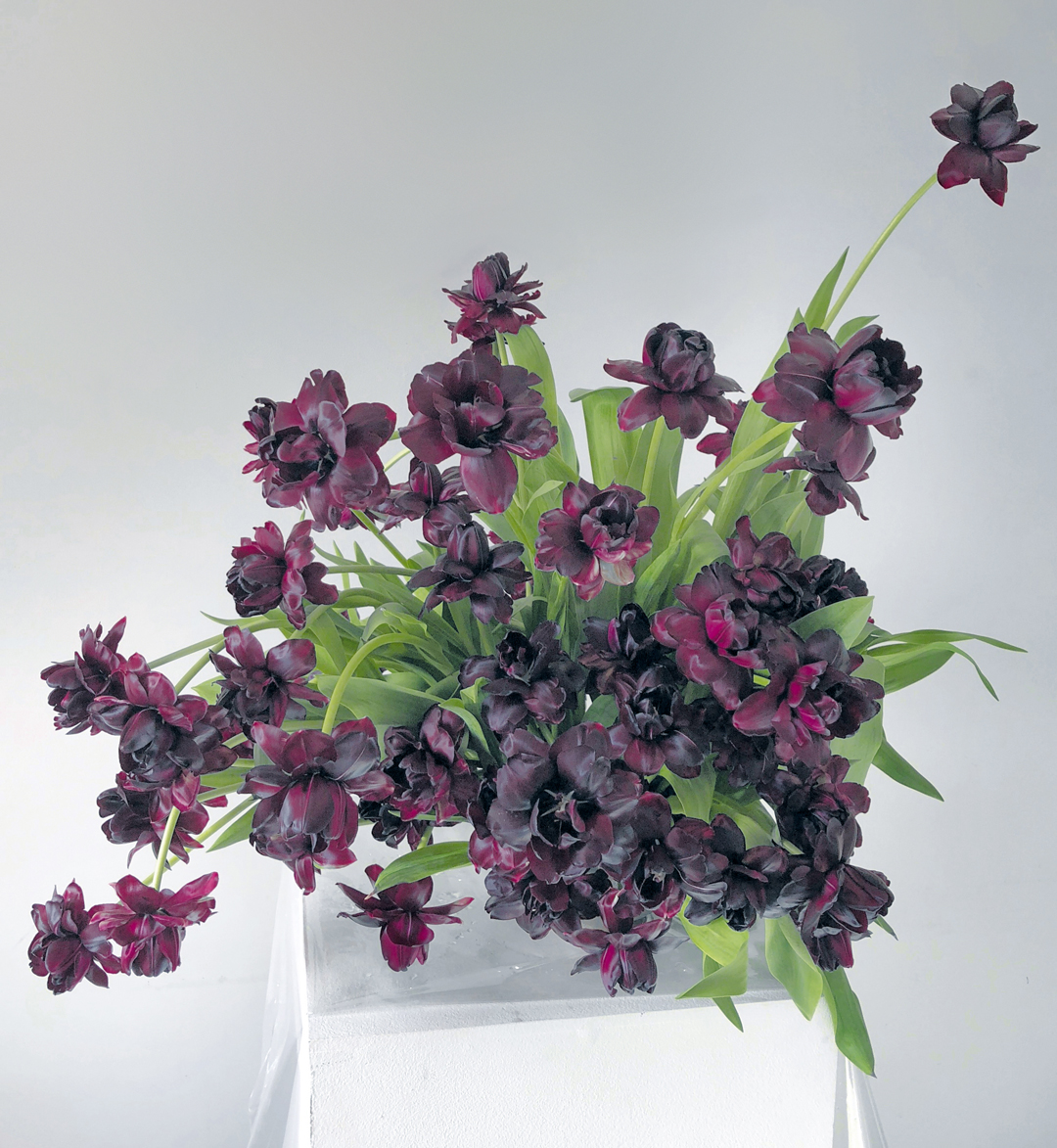 Arrangement of double-flowering 'Black Hero' tulips - Bold Oxlip
