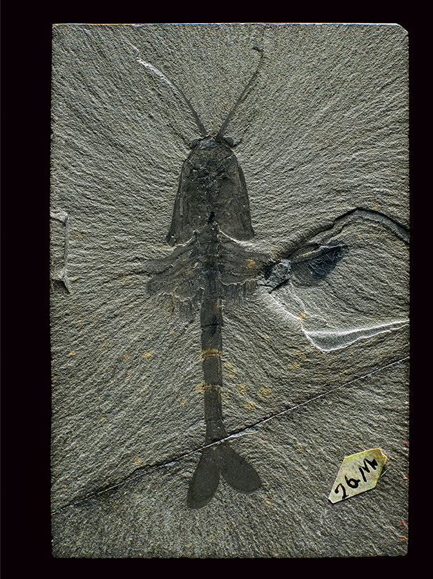 Robert Clark, Waptia fieldensis, from the Burgess Shale fossil beds of British Columbia. © Robert Clark