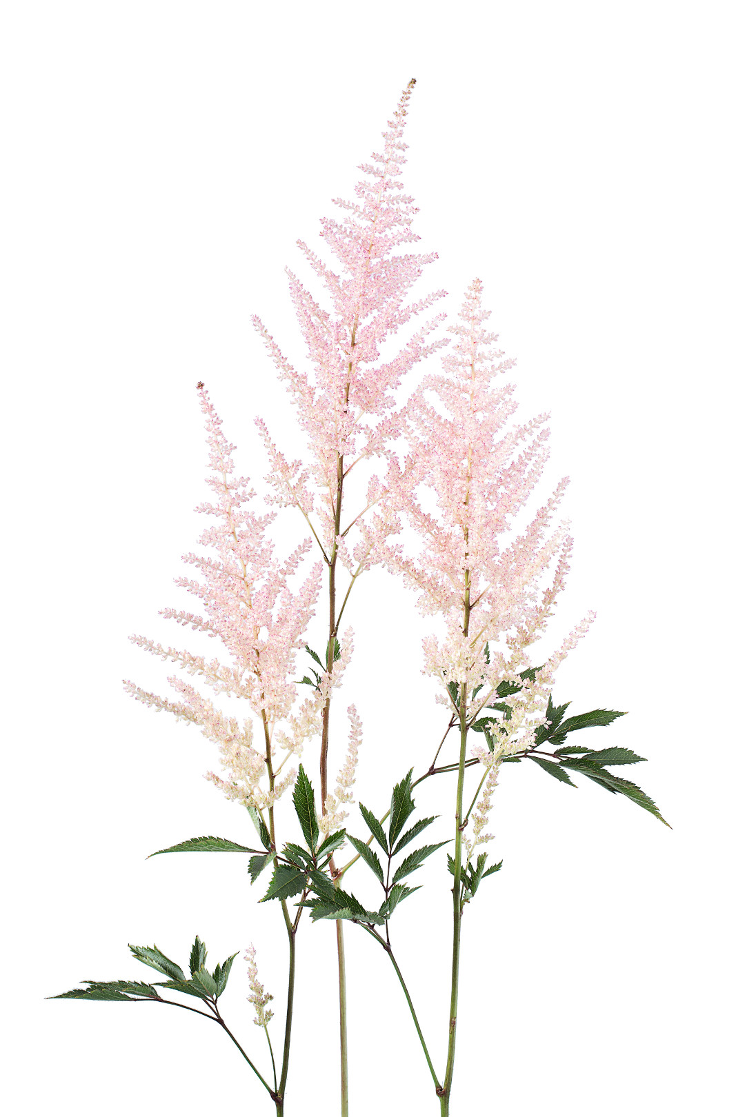 Astilbe from The Flower Colour Guide