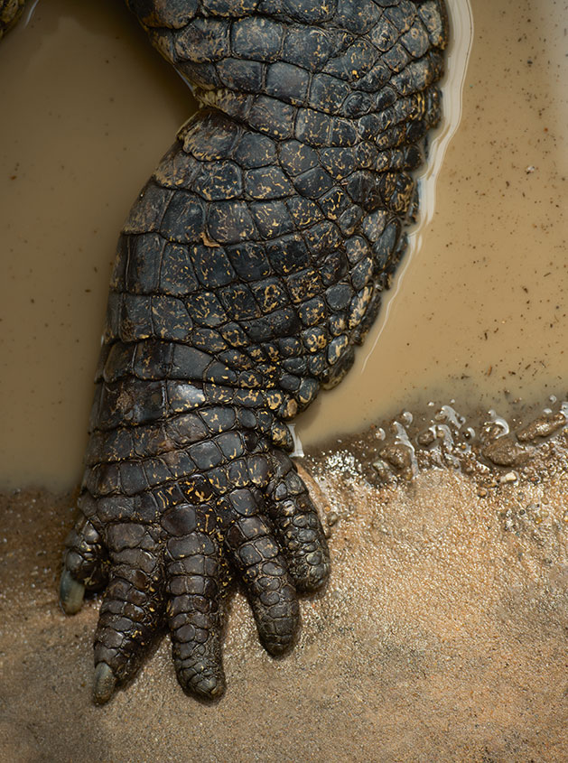 The five toed foot of a salt water crocodile as pictured in Evolution: A Visual Record