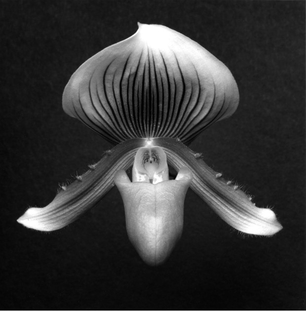 Orchid, 1988 by Robert Mapplethorpe. Gelatin Silver Print © Robert Mapplethorpe Foundation. Used by permission.