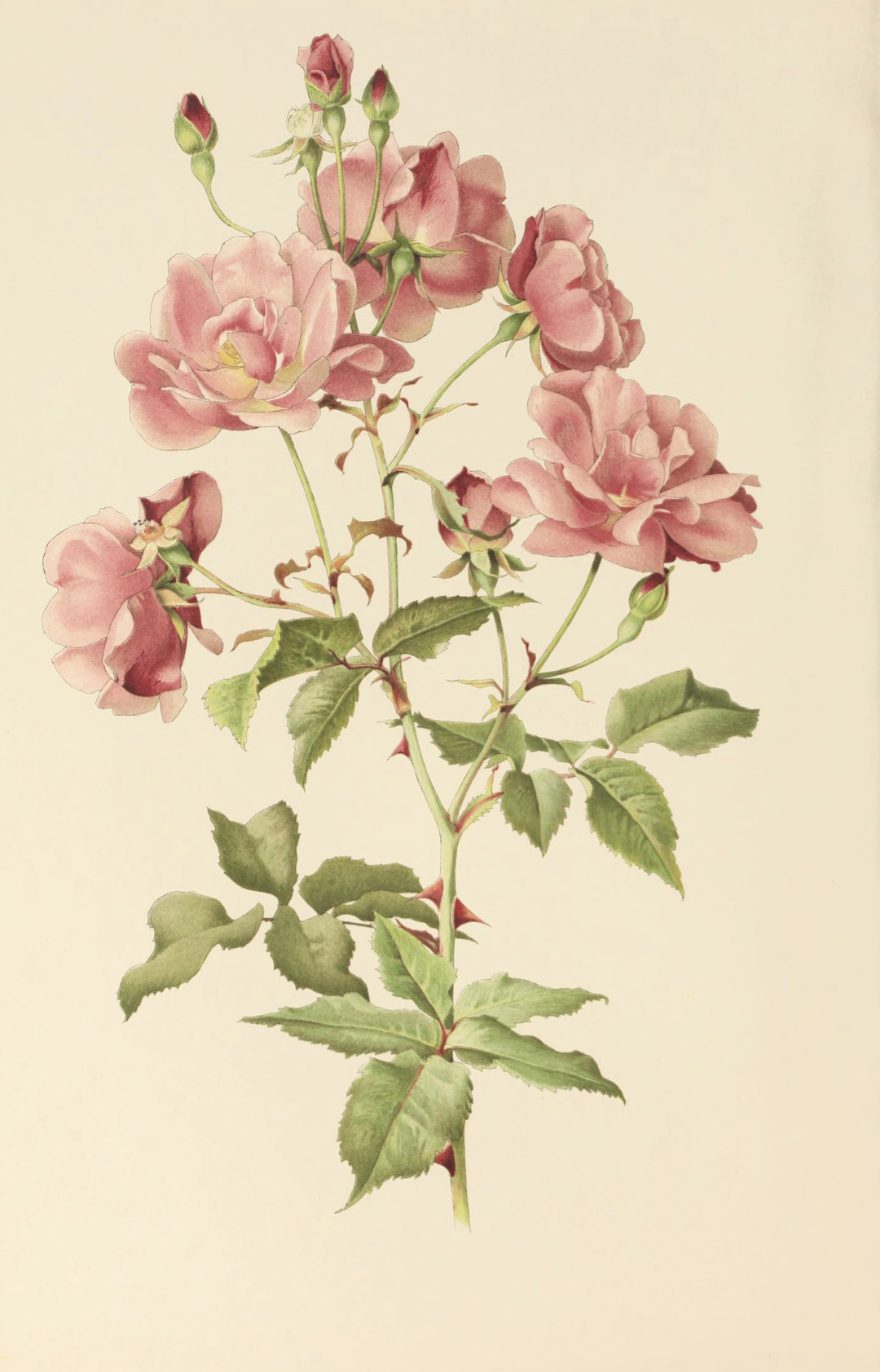 Alfred Parsons and Ellen Willmott, Rosa chinensis,fromThe Genus Rosa, 1910–14