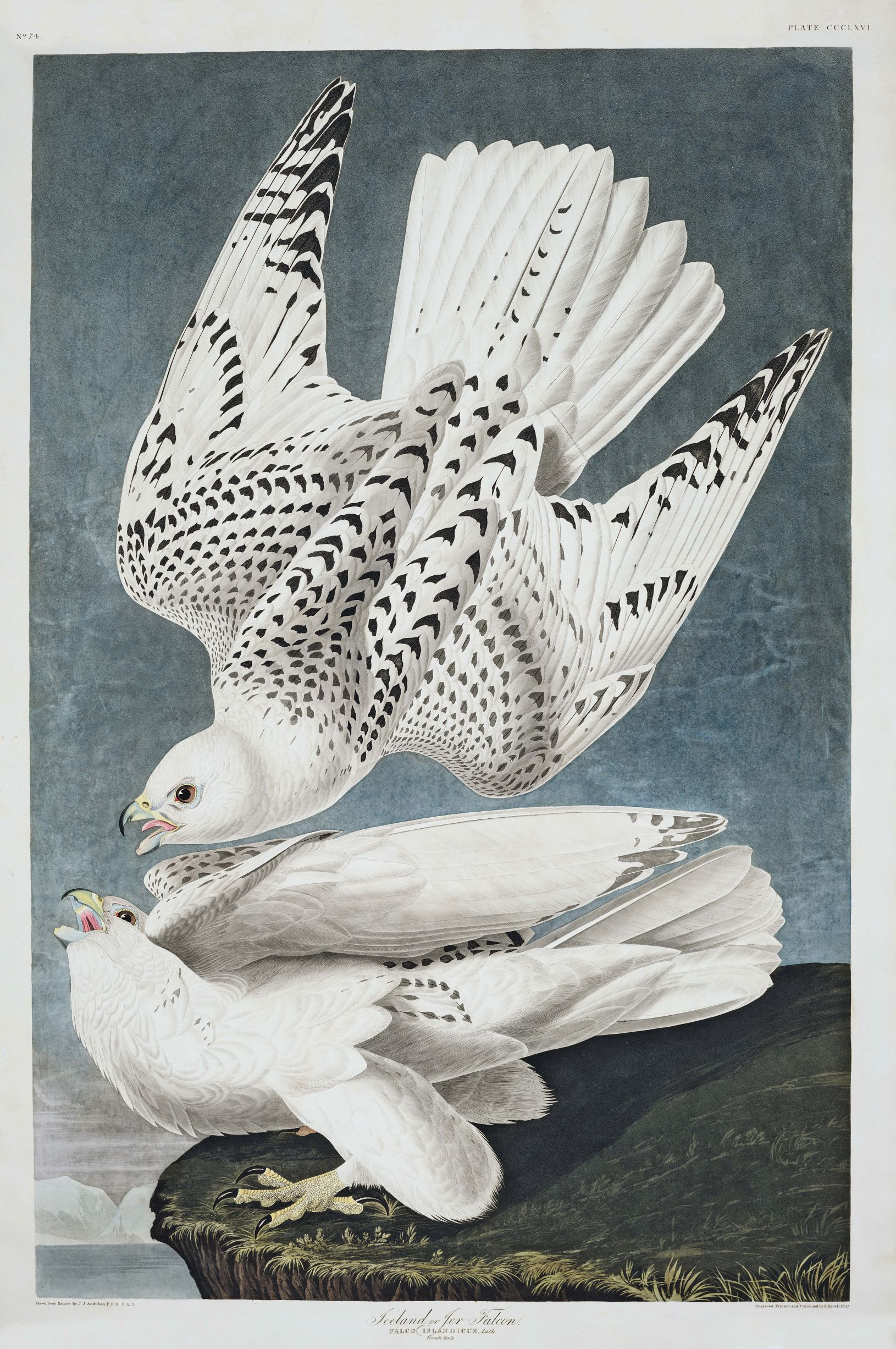 John James Audubon, Iceland, Iceland, or Jer Falcon (Falco islandicus), plate 366 from Birds of America, 1837. From Animal