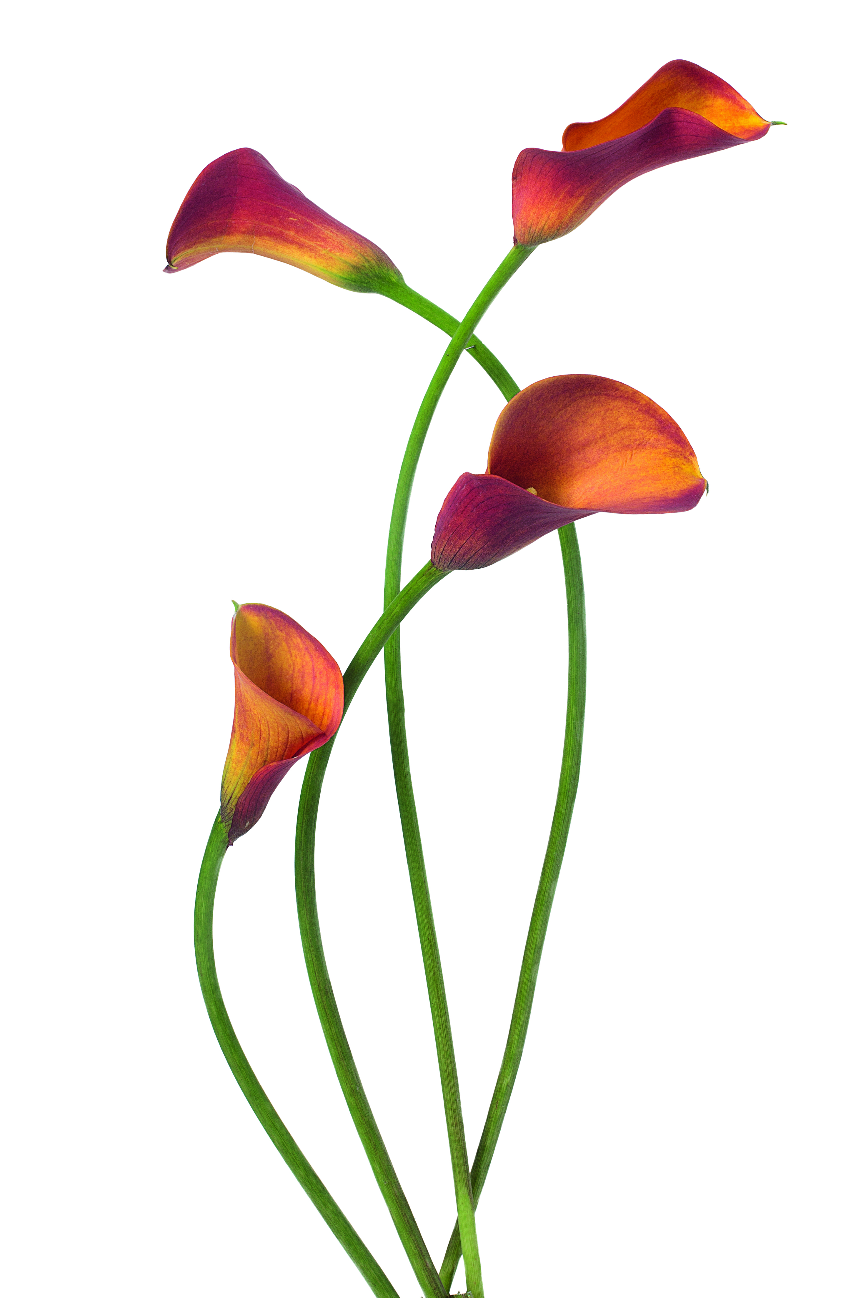 Calla lilies from The Flower Colour Guide