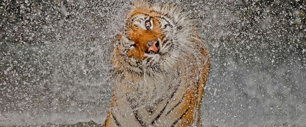 Indochinese tiger by Ashley Vincent, overall winner of National Geographic's 2012 photography competition