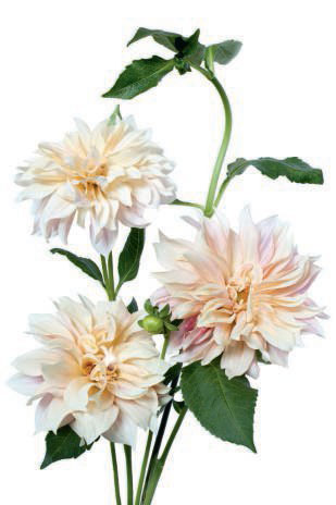 'Cafe au Lait' Dahlia from The Flower Colour Guide