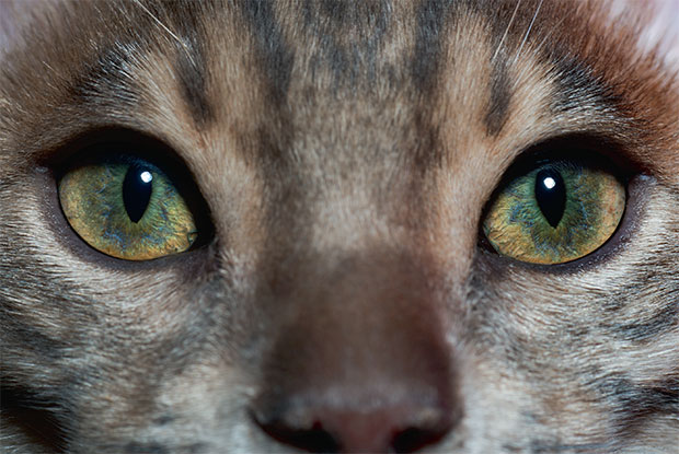 A domestic cat's eyes, photographed by Robert Clark. As reproduced in Evolution: A Visual Record