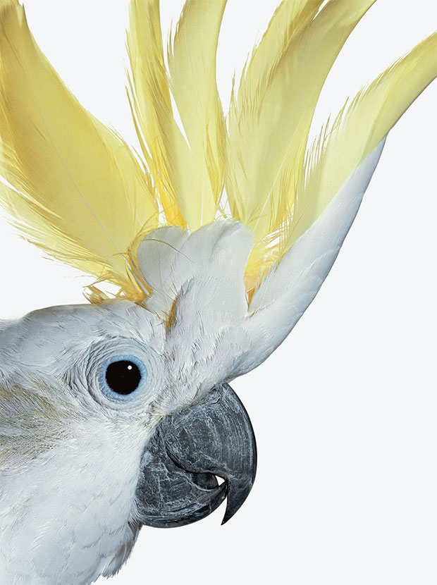 A cockatoo photographed by Robert Clark. From Evolution: A Visual Record