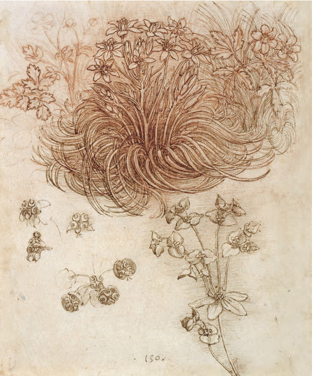 Star of Bethlehem (Ornithogalum umbellatum), wood anemone (Anemone nemorosa) and sun spurge (Euphorbia helioscopia), c.1505–10 Pen and ink with red chalk on paper, 19.8 × 16 cm / 7¾ × 6¼ in Royal Collection Trust, London