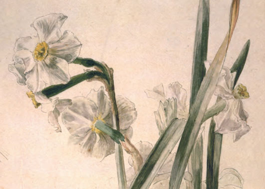 Detail from Study of Narcissus Flowers, c.1895 Pen and ink and watercolour on paper, 28 × 15 cm / 11 × 6 in by Helen Beatrix Potter. As reproduced in Plant. Image courtesy of Victoria and Albert Museum, London
