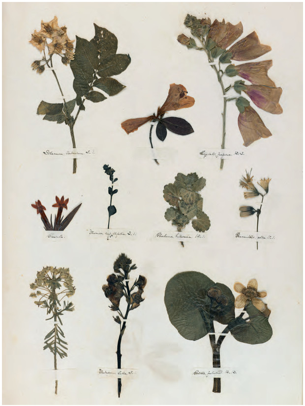 Herbarium sheet, c.1839–46 Pressed flowers on woven paper, 33 × 49.5 cm / 13 × 19½ in Houghton Library, Harvard University, Cambridge, Massachusetts. As reproduced in Plant