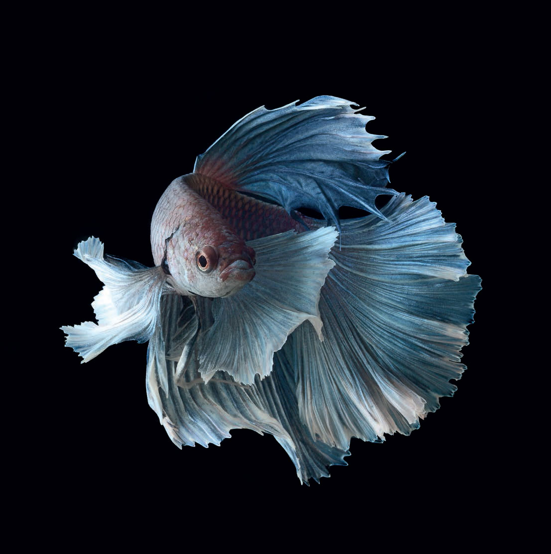 Astonishing Animals – The Siamese Fighting Fish