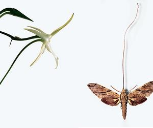 The search for Darwin's moth
