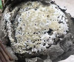 René Redzepi has just cooked a Mexican wasps nest!