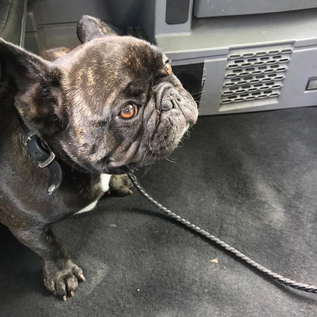Max, the travelling French bulldog in a London cab, by Stephen Shore. Image courtesy of the photographer's Instagram