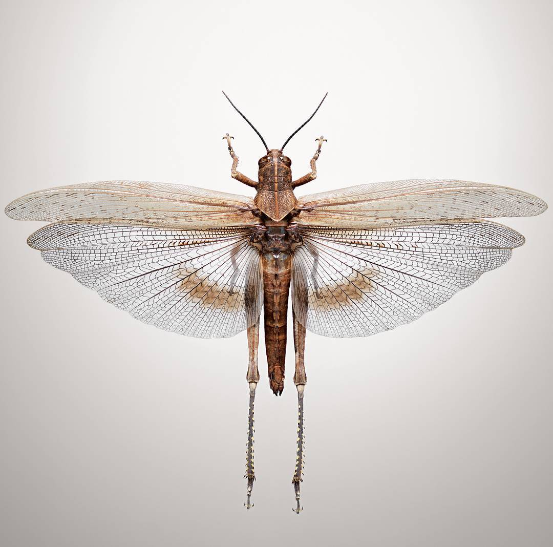A grasshopper photographed by Jonathan Gregson