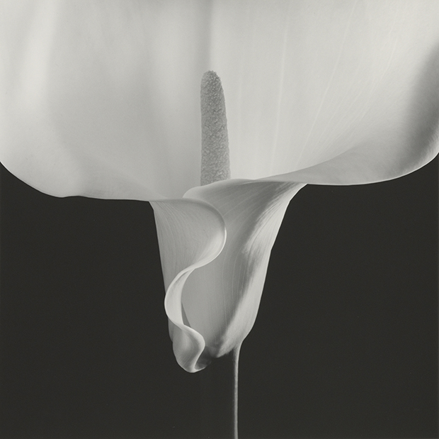 Robert Mapplethorpe, Calla Lily, 1988, Gelatin Silver Print © Robert Mapplethorpe Foundation. Mapplethorpe Flora: The Complete Flowers, Phaidon