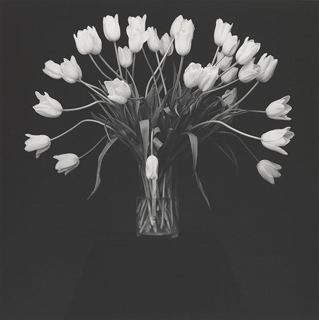 Tulips, 1988, by Robert Mapplethorpe. Gelatin silver print Image: 49.1 x 49 cm (19 5/16 x 19 5/16 in.) Gift of The Robert Mapplethorpe Foundation to the J. Paul Getty Trust and the Los Angeles County Museum of Art, 2012.52.27 © Robert Mapplethorpe Foundation