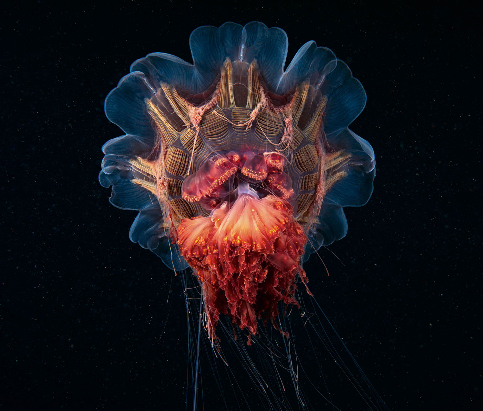 Astonishing Animals – The Lion's Mane Jellyfish