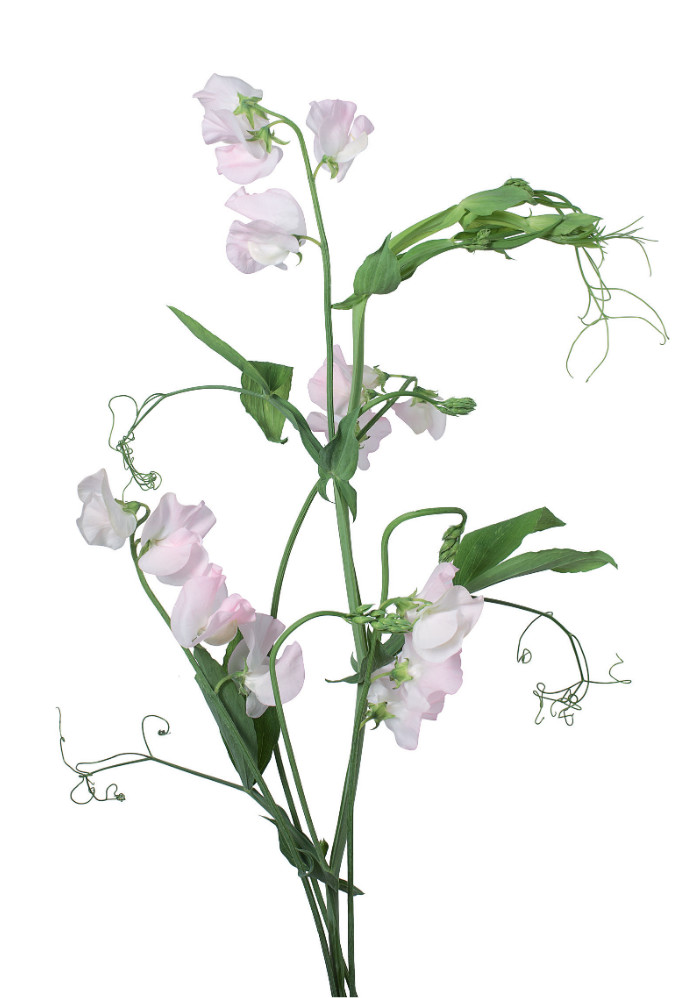 Pale pink sweet pea, from Flower Color Guide