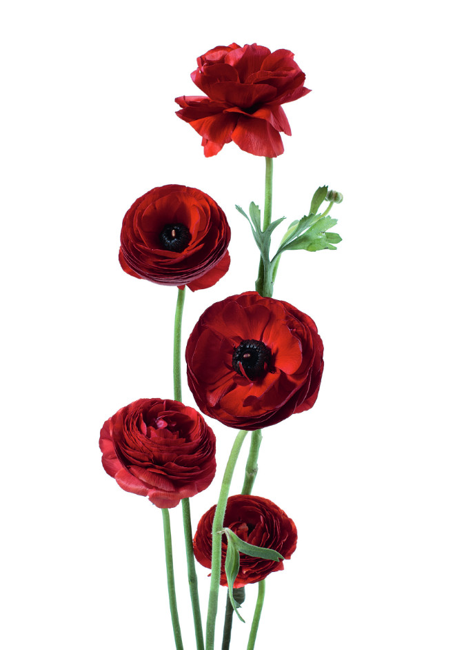 Ranunculus dark red, from Flower Color Guide