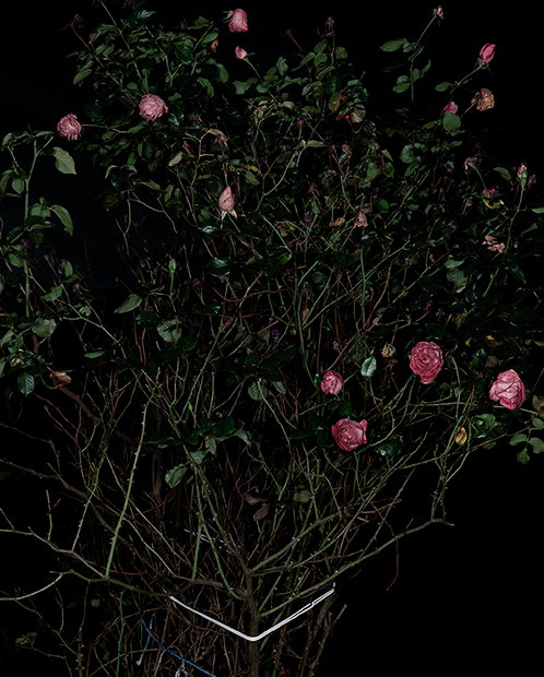 The Rose Gardens (Display) (VI) (2014) by Sarah Jones