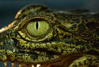 Want to know why a crocodile has three eyelids?