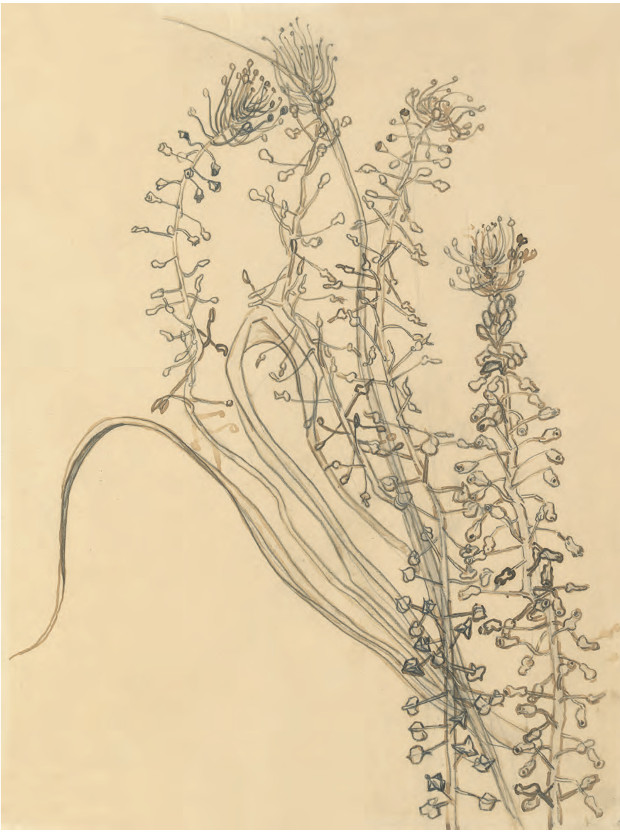 Vincent van Gogh, Tassel Hyacinth, (1889) Pencil, brush and ink on paper, 41.2 × 30.9 cm / 16¼ × 12¼ in Van Gogh Museum, Amsterdam. From Plant: Exploring the Botanical World